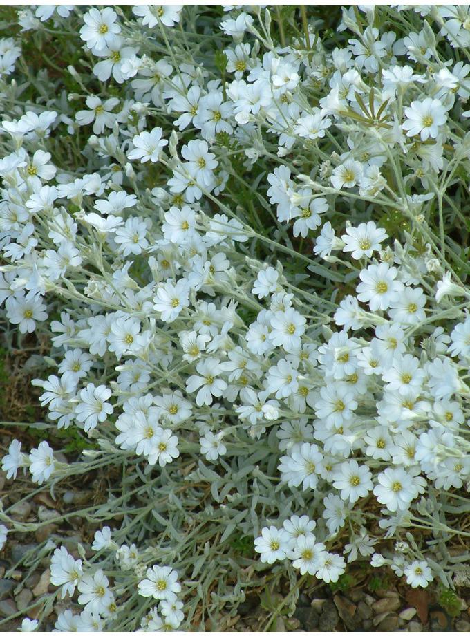 Cerastium tomentosum var. columnae