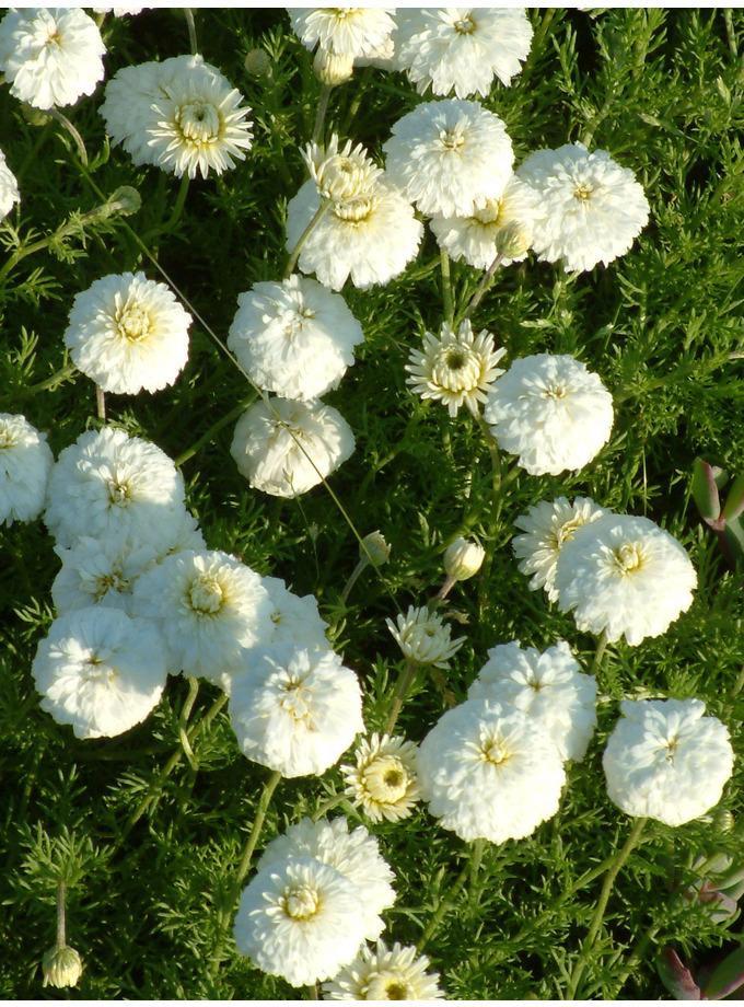 Chamaemelum nobile 'Flore Pleno'