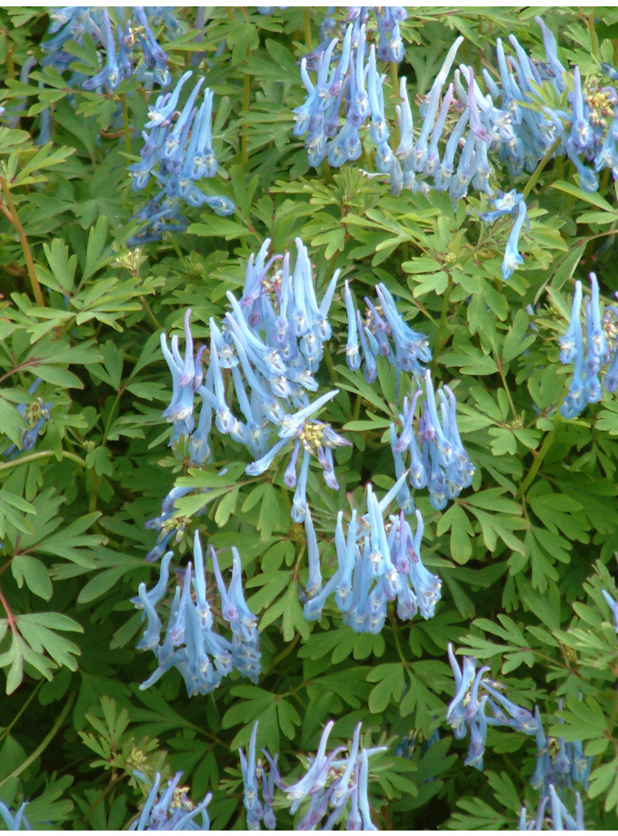 Corydalis flexuosa 'China Blue'