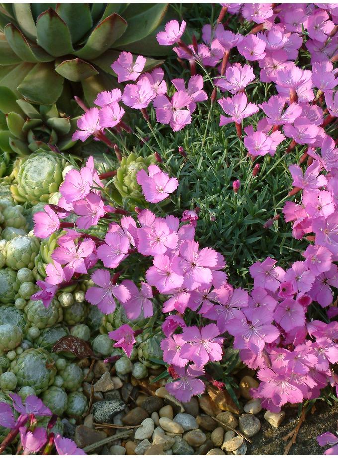 Dianthus x arvernensis
