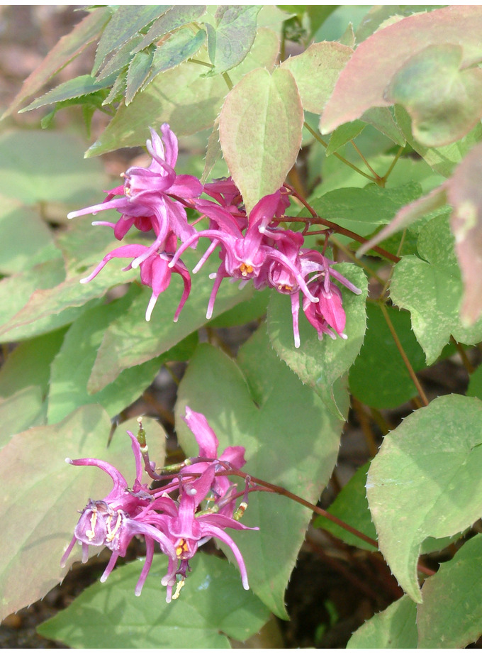 Epimedium grandiflorum 'Crimson Beauty'
