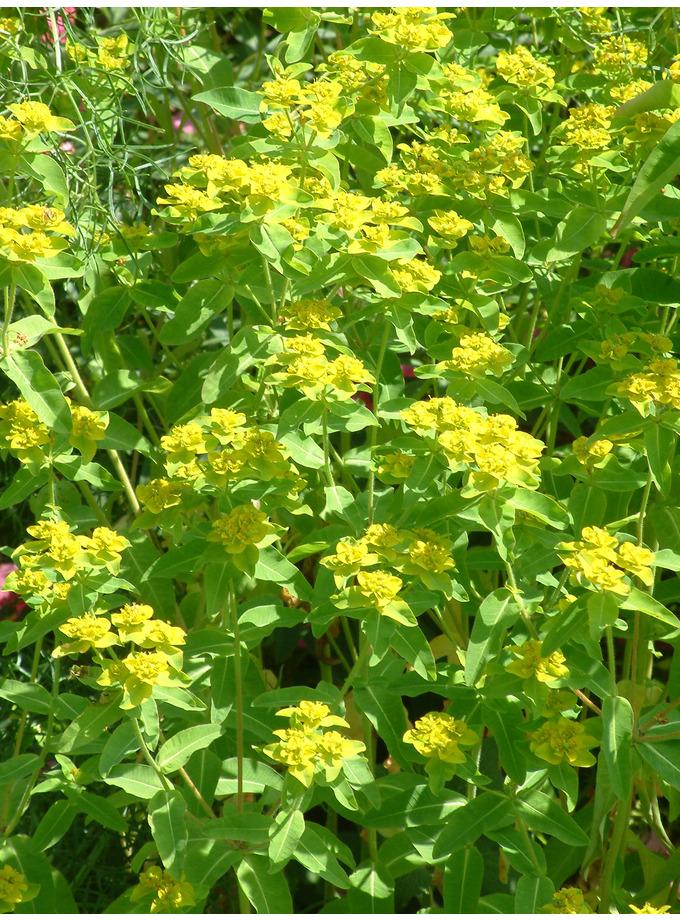 Euphorbia corallioides