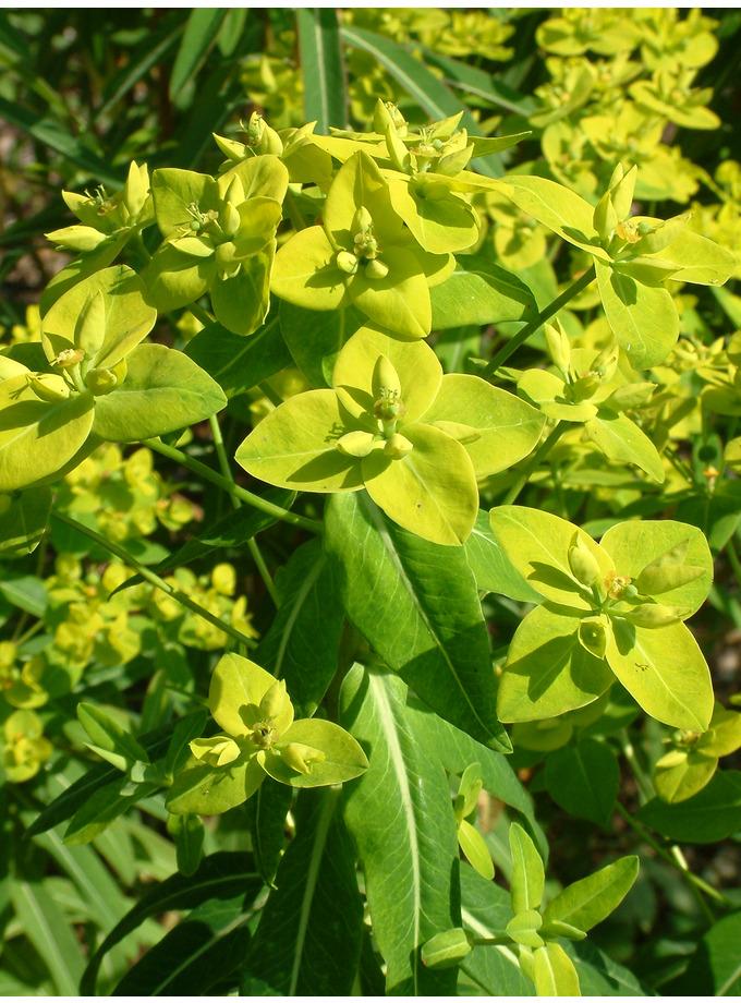 Euphorbia cornigera
