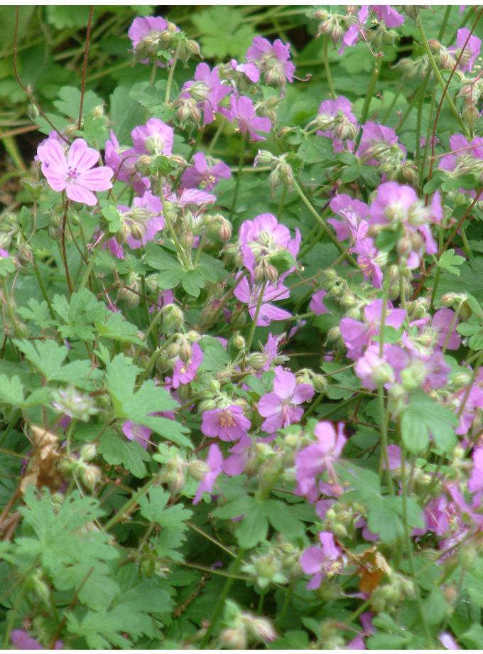 Geranium x cantabrigiense 'Cambridge'