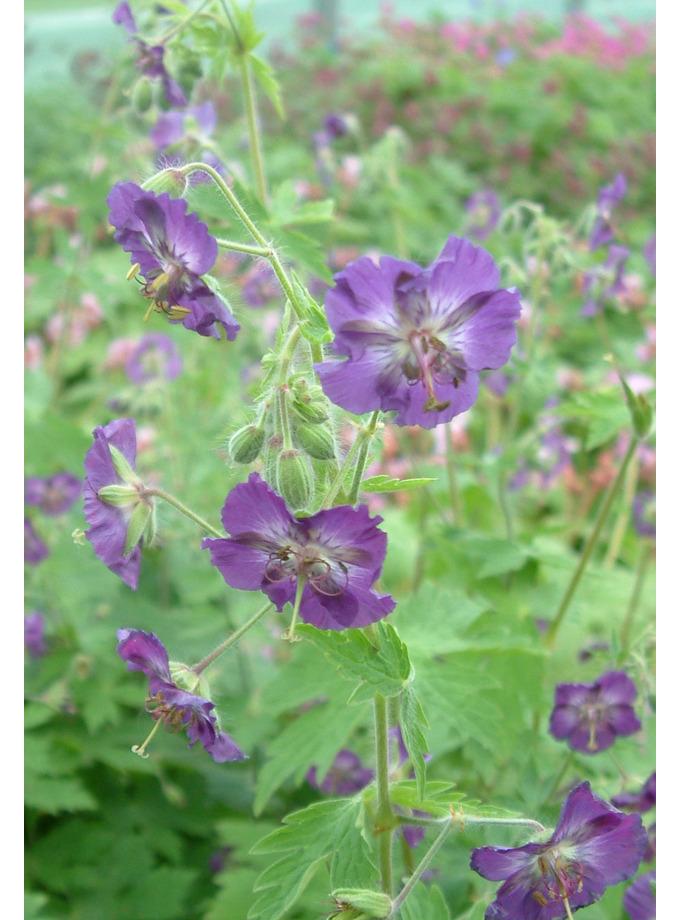Geranium phaeum 'Lilacina'