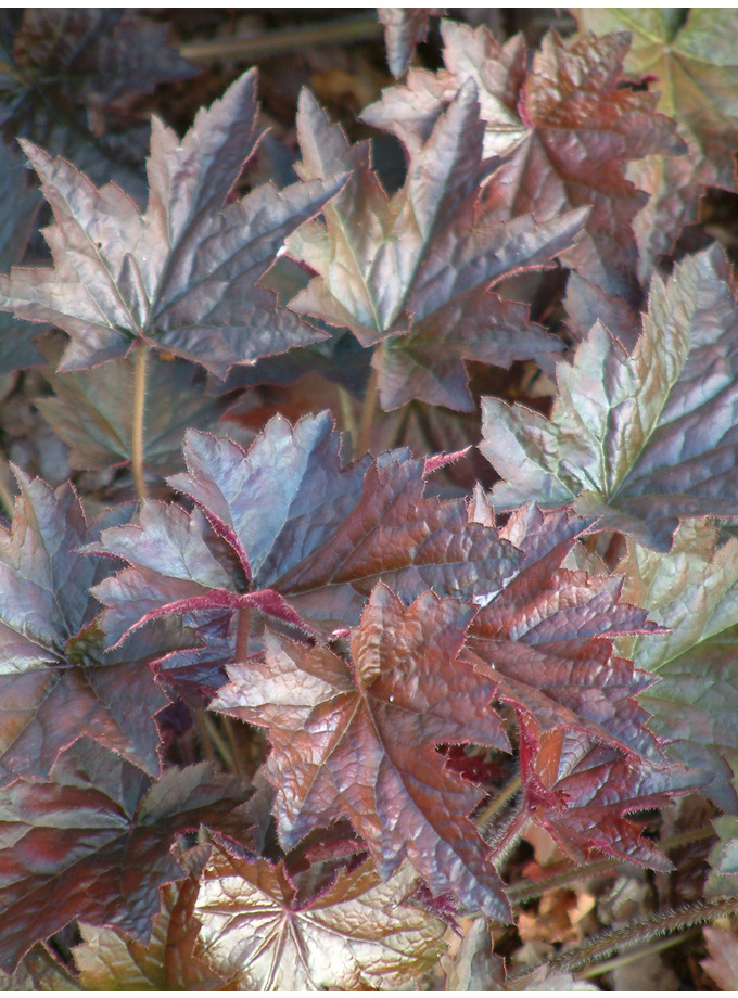 Heuchera villosa 'Royal Red'