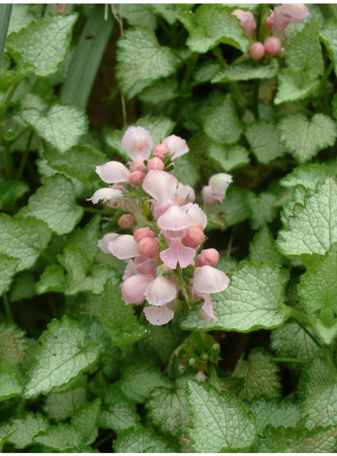 Lamium maculatum 'Pink Pewter'