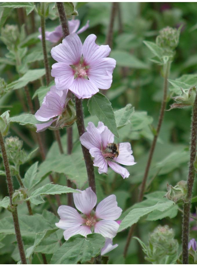 Lavatera olbia 'Lilac Lady'
