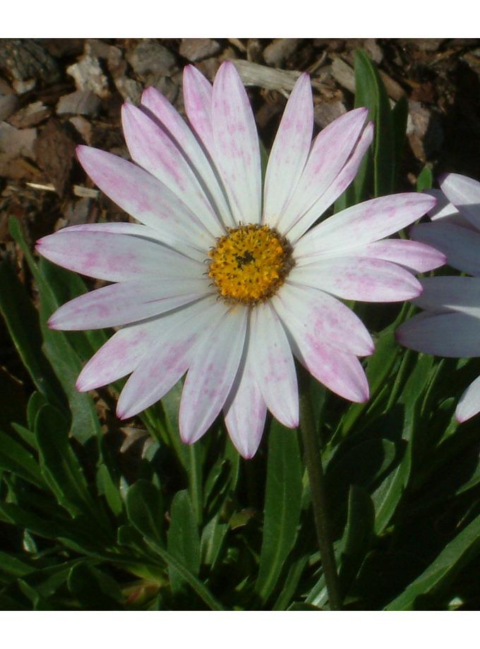 Osteospermum 'Lady Leitrim'