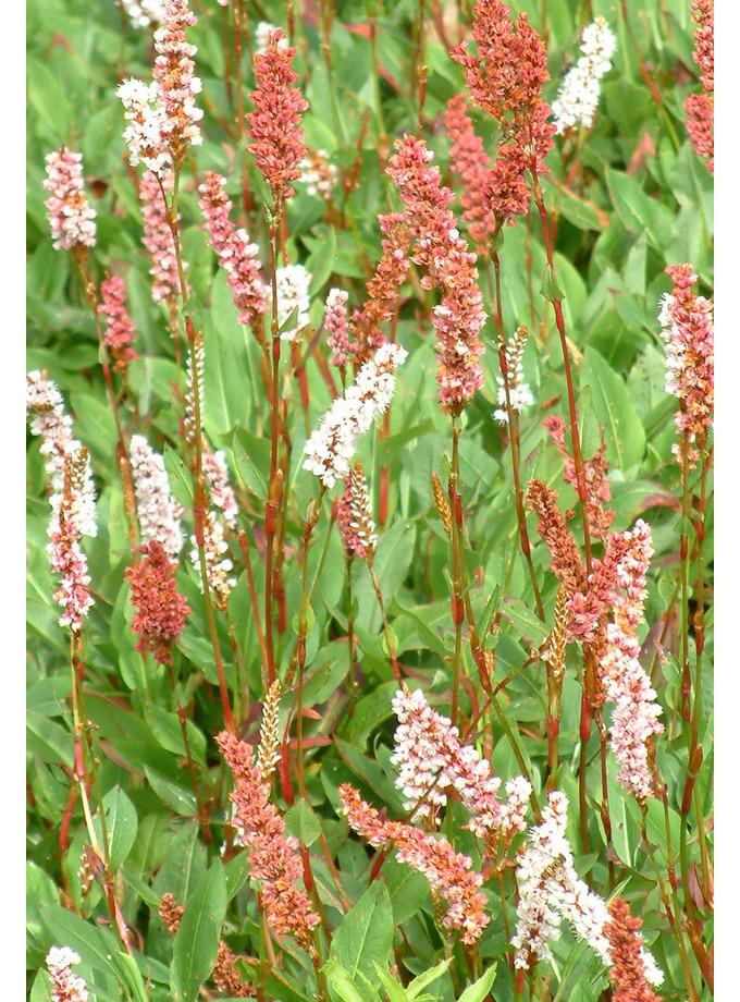 Persicaria affinis 'Superba'