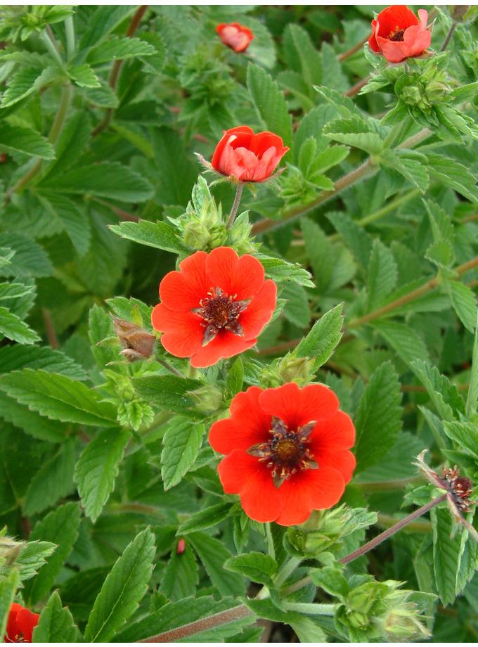 Potentilla 'Gibsons scarlet'