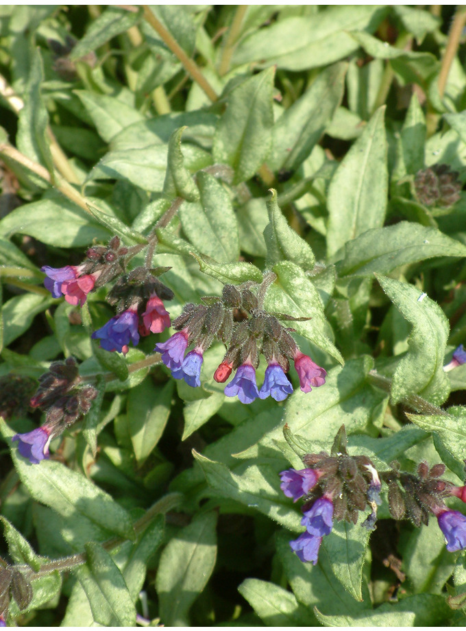 Pulmonaria 'Cotton Cool'
