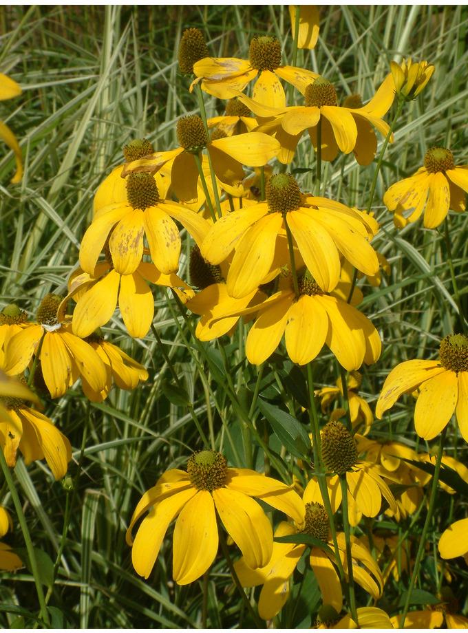 Rudbeckia laciniata 'Herbstsonne'