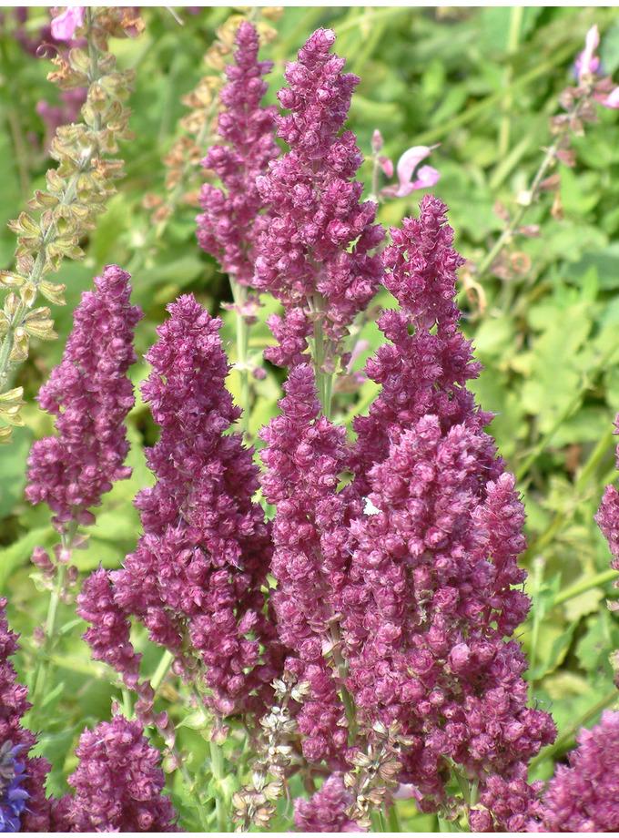 Salvia nemorosa 'Pusztaflamme'