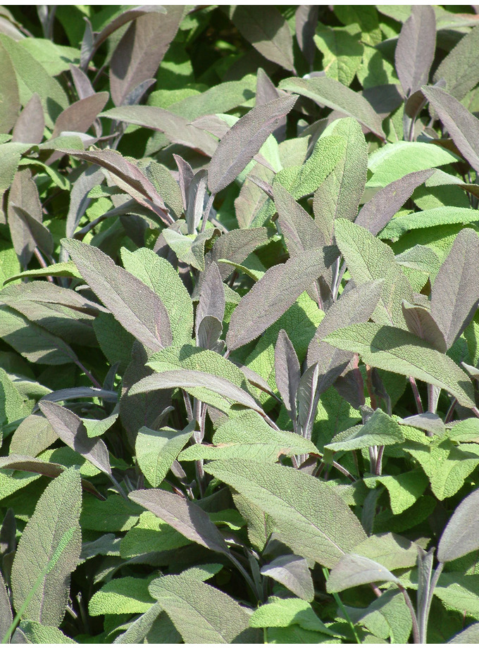 Salvia officinalis 'Purpurascens' 1L
