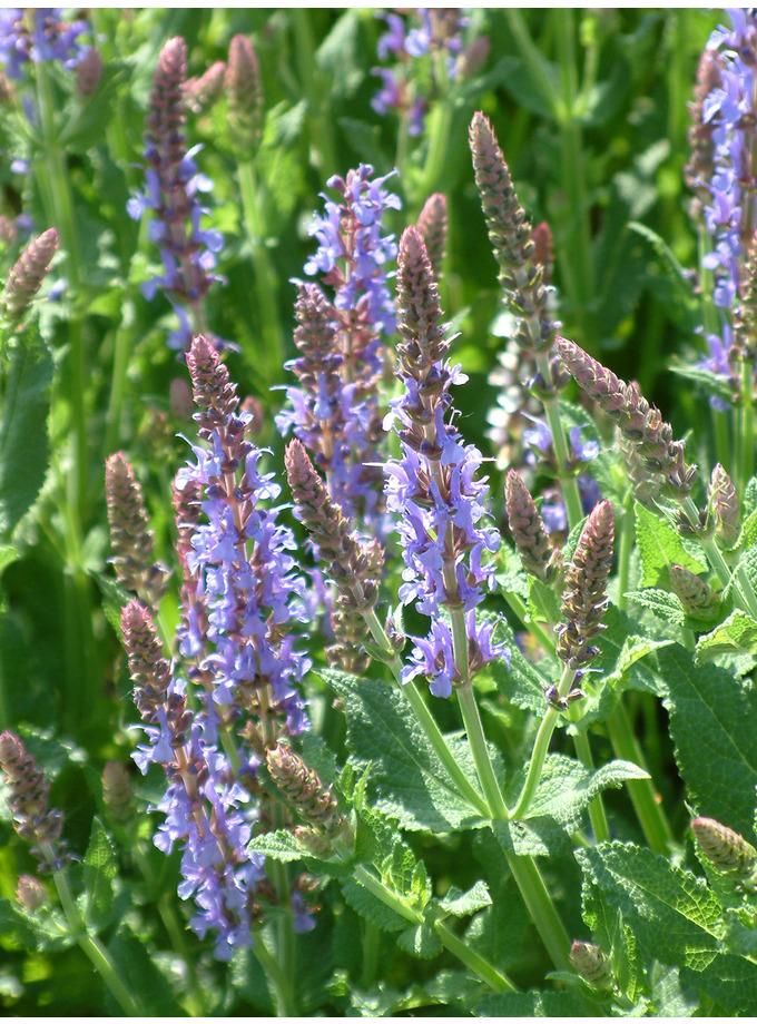 Salvia x sylvestris 'Blauhügel'