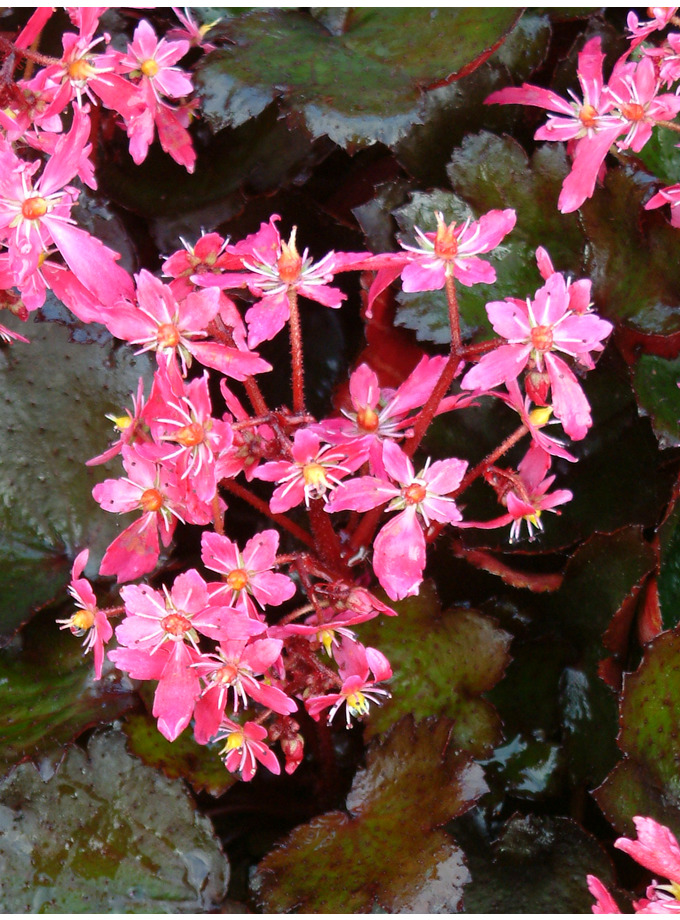 Saxifraga Black Ruby (fortunei)