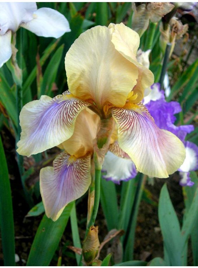 Iris 'Benton Olive'