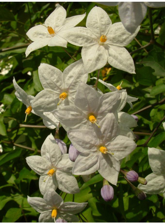 Solanum laxum 'Creche du Pape'