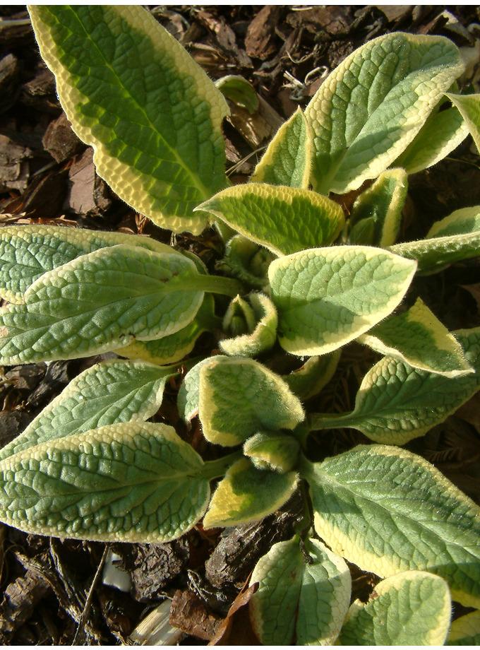 Symphytum x uplandicum 'Variegatum'