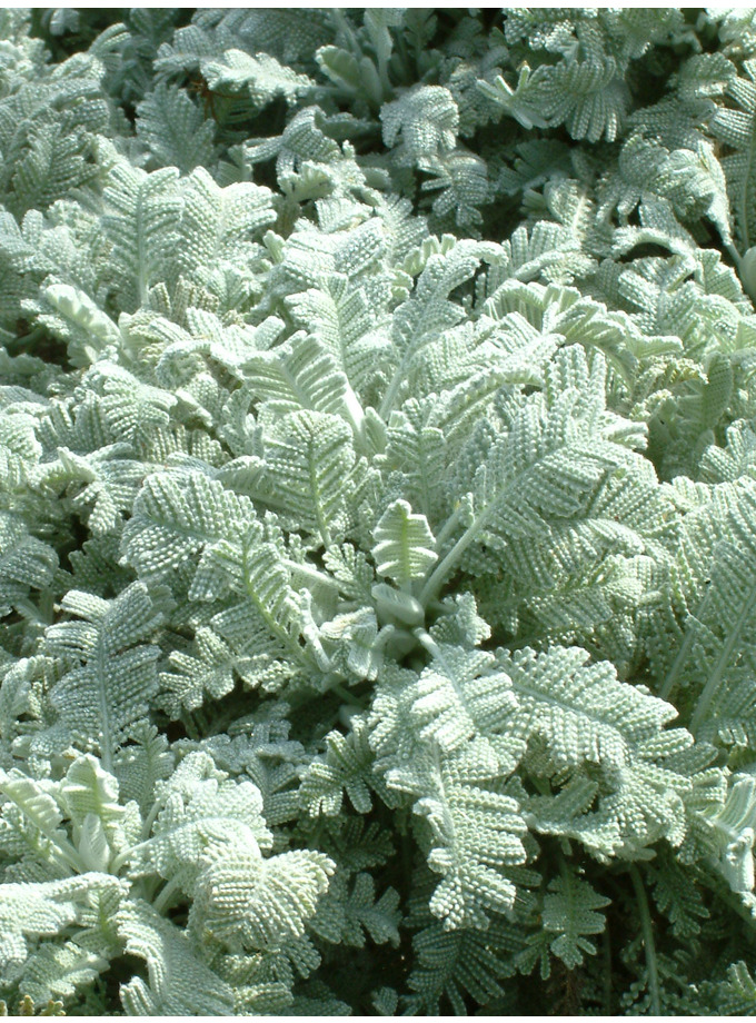 Tanacetum densum subsp. amani