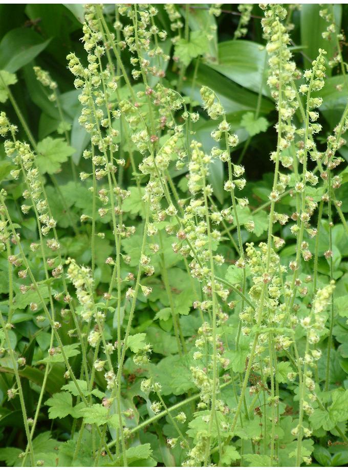 Tellima grandiflora Odorata Group
