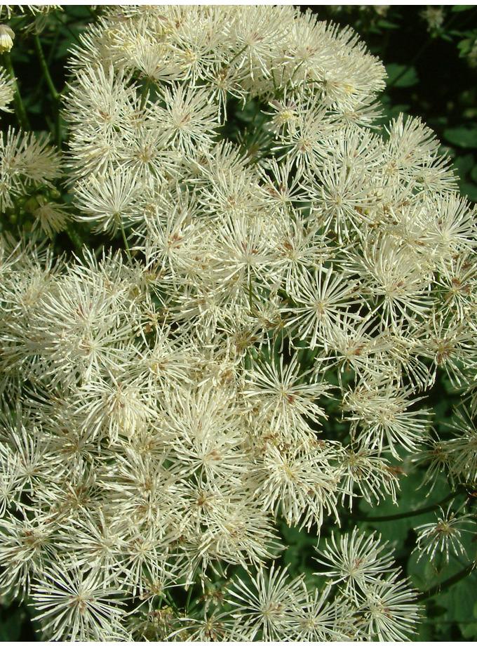 Thalictrum aquilegiifolium var. album
