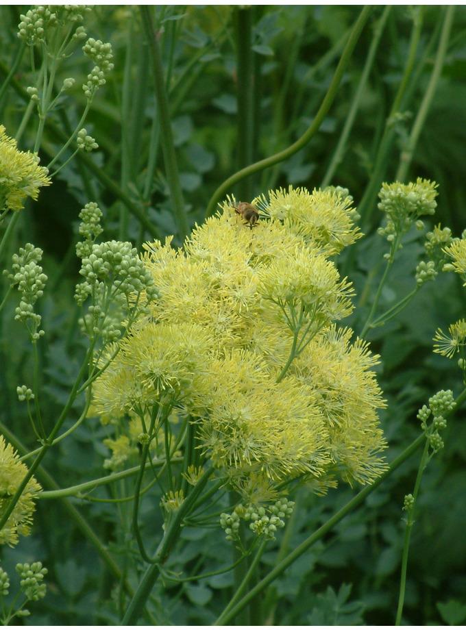 Thalictrum flavum subsp. glaucum