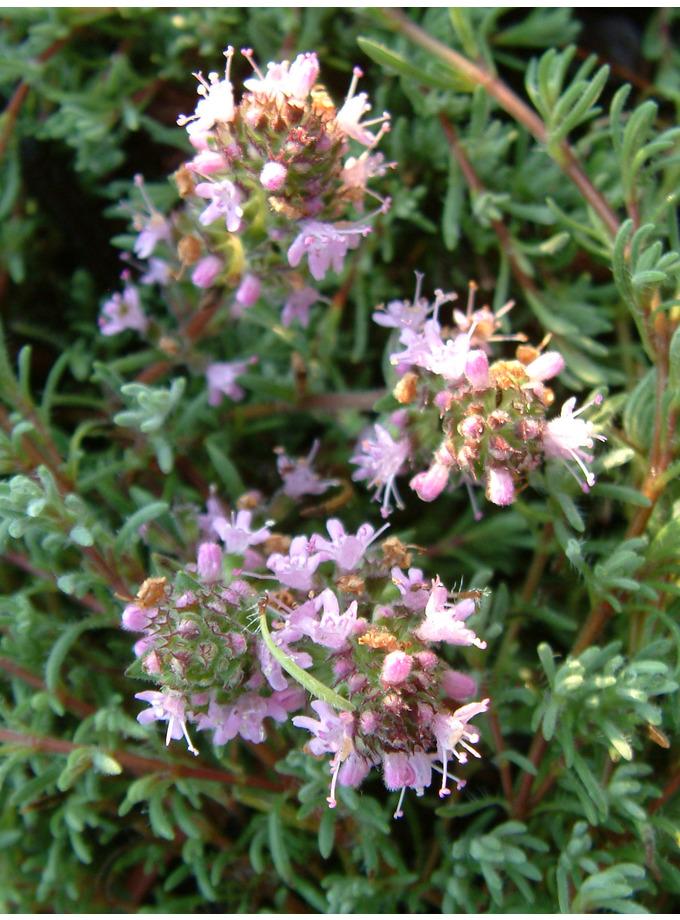 Thymus neiceffii