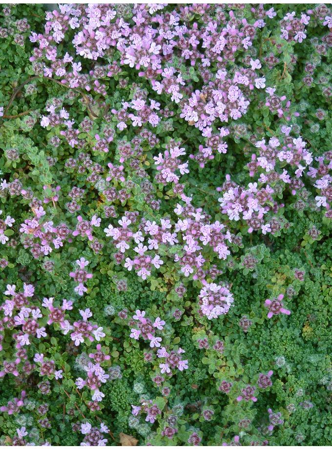 Thymus serphyllum 'Minimalist'