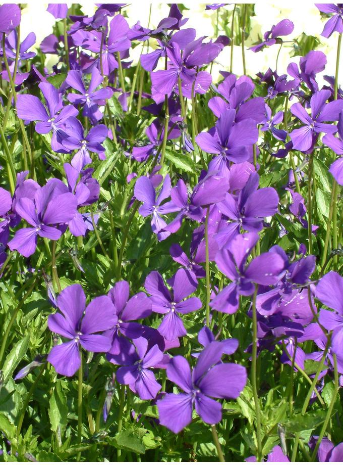 Viola cornuta Purpurea Group