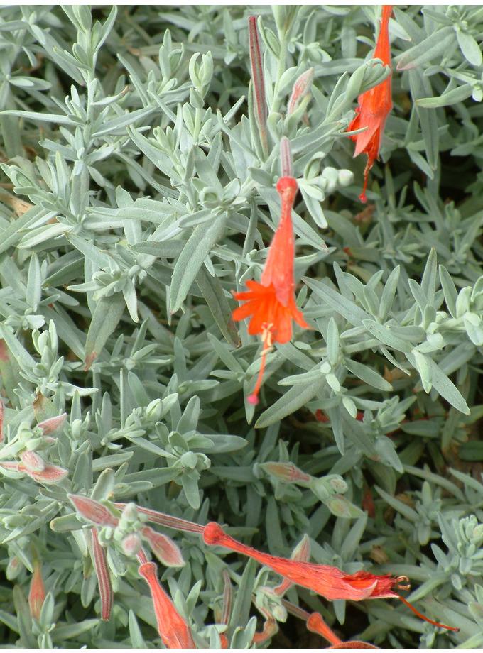 Zauschneria californica 'Olbrich Silver'