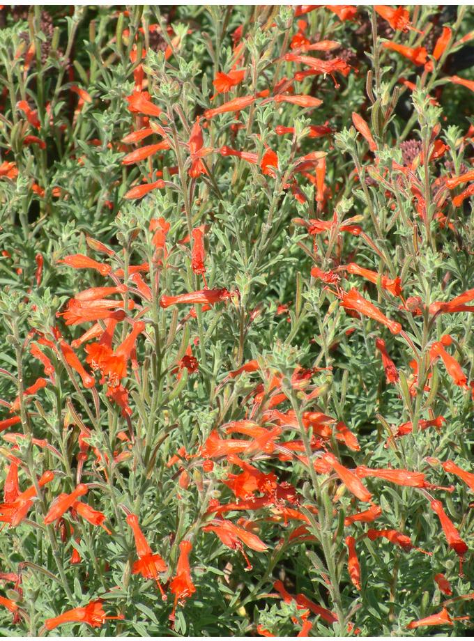Zauschneria californica 'Western Hills'
