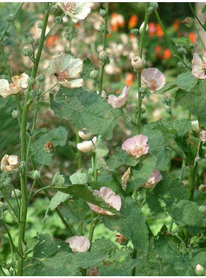 x Alcalthaea suffrutescens 'Parkallee'