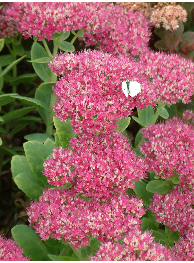 Hylotelephium spectabile (Brilliant Group) 'Lisa'
