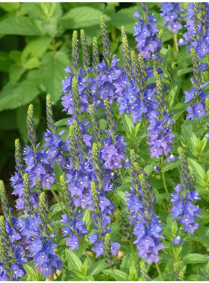 Veronica austriaca subsp. teucrium 'Crater Lake Blue'