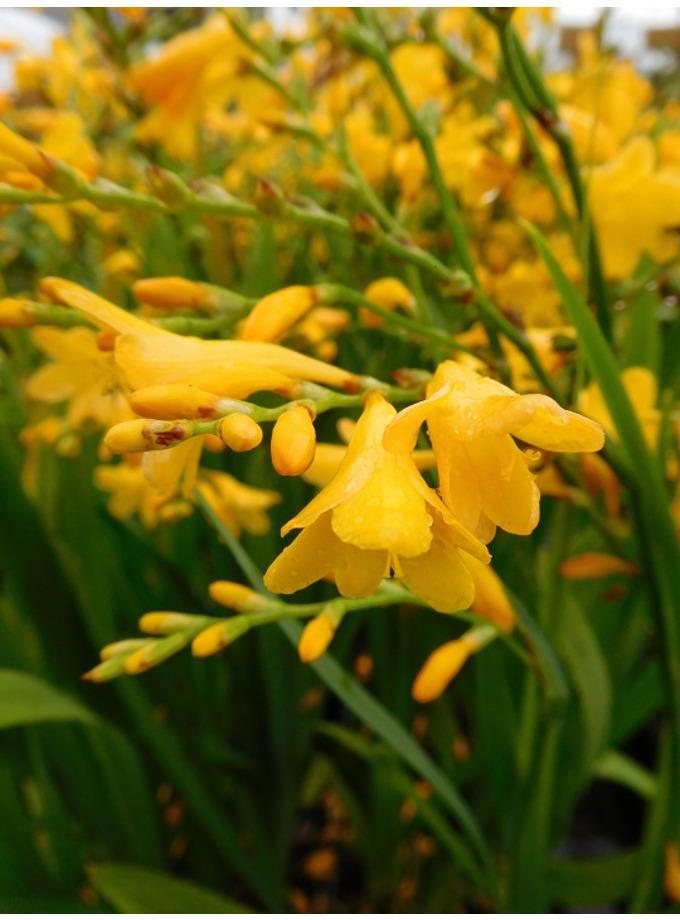 Crocosmia x crocosmiiflora 'Honey Angels'