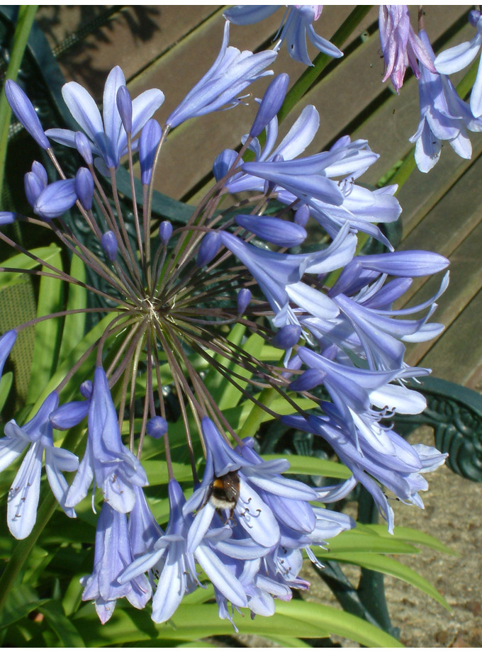 Agapanthus 'Blue Ribbon'