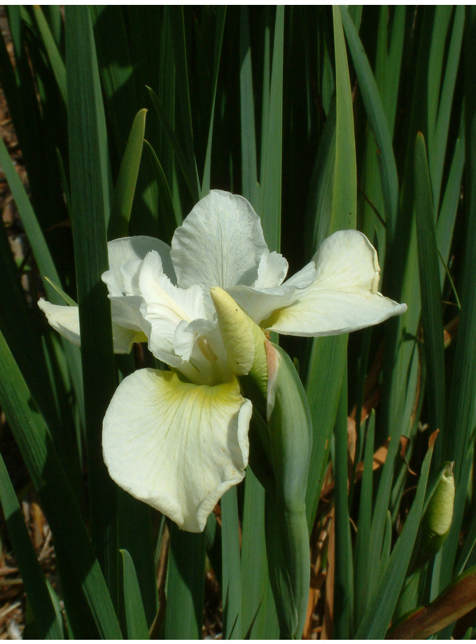 Iris 'Dreaming Green' (Sib)