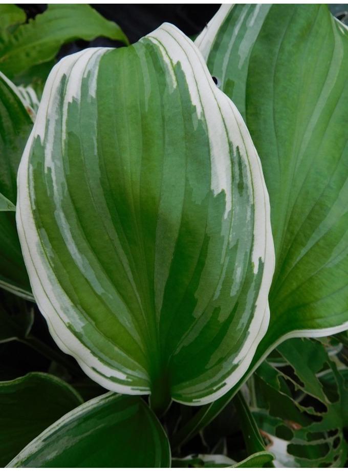 Hosta undulata var. albomarginata