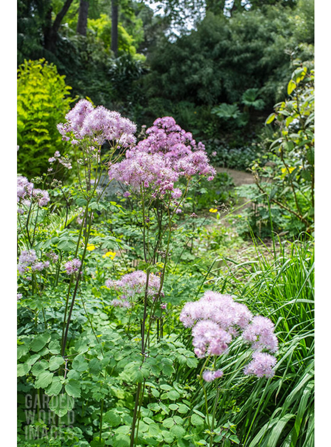 Thalictrum aquilegiifolium 'Thundercloud'