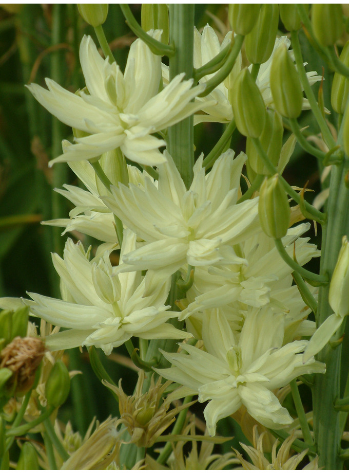 Camassia leichtlinii 'Plena'