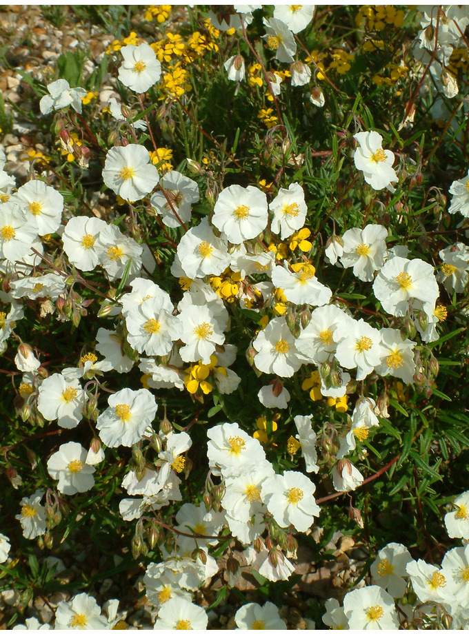 Helianthemum 'Wisley White'