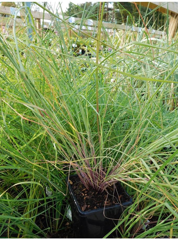 Eragrostis elliotii