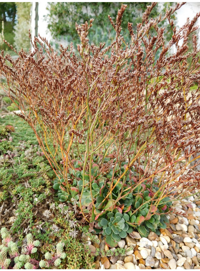 Limonium bellidifolium
