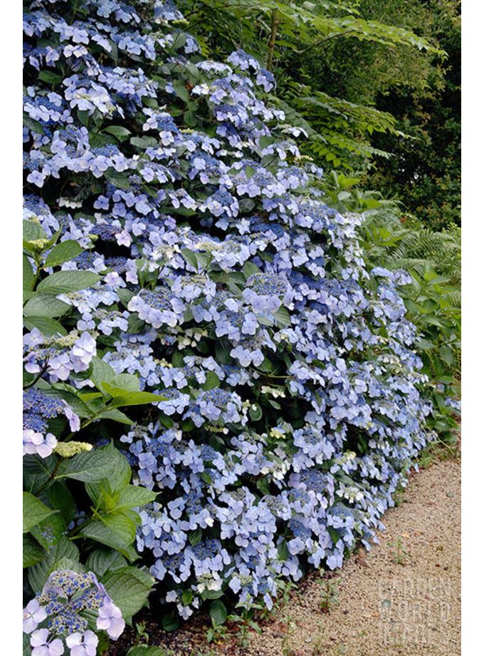 Hydrangea macrophylla 'Mariesii Perfecta' ('Blue Wave')