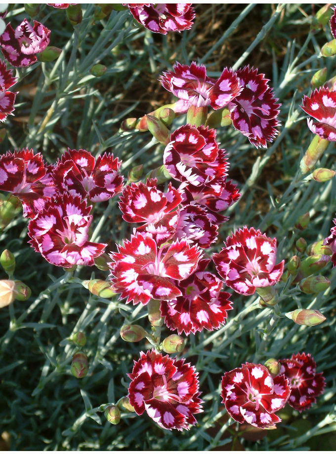 Dianthus 'Sops-in-wine'