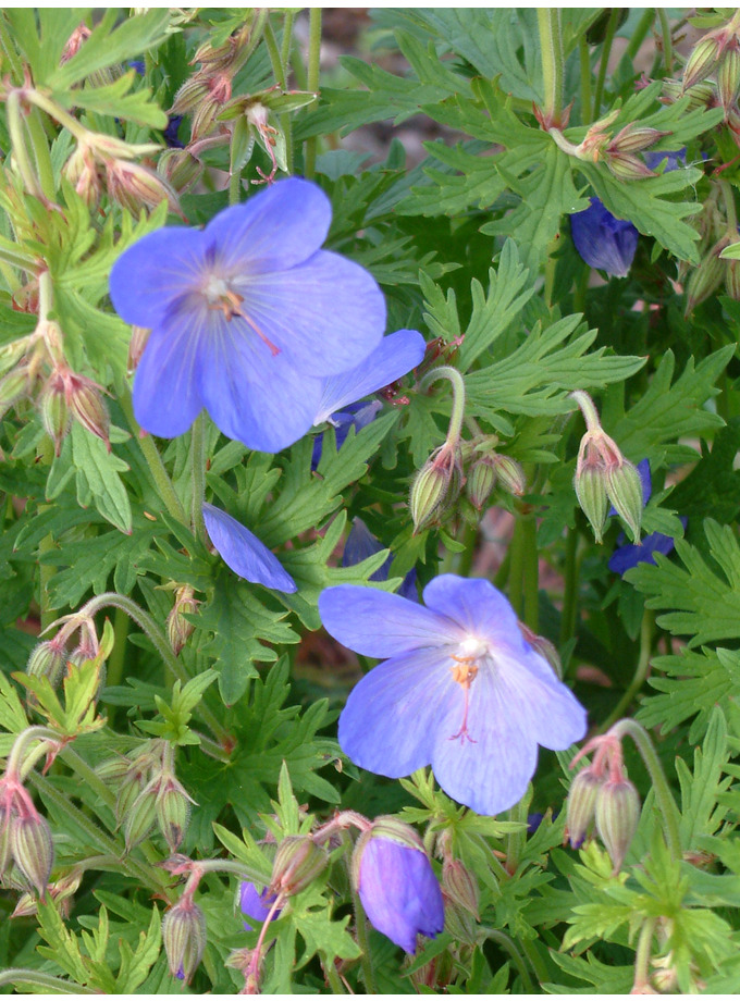 Geranium x johnsonii 'Johnson's Blue'