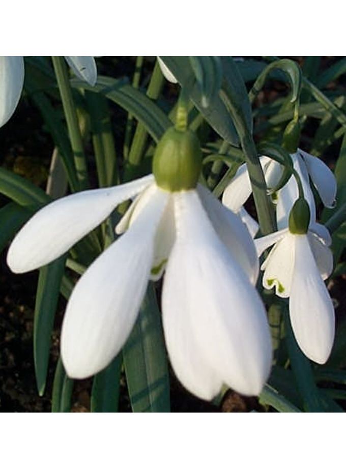 Galanthus 'Mrs Thompson'