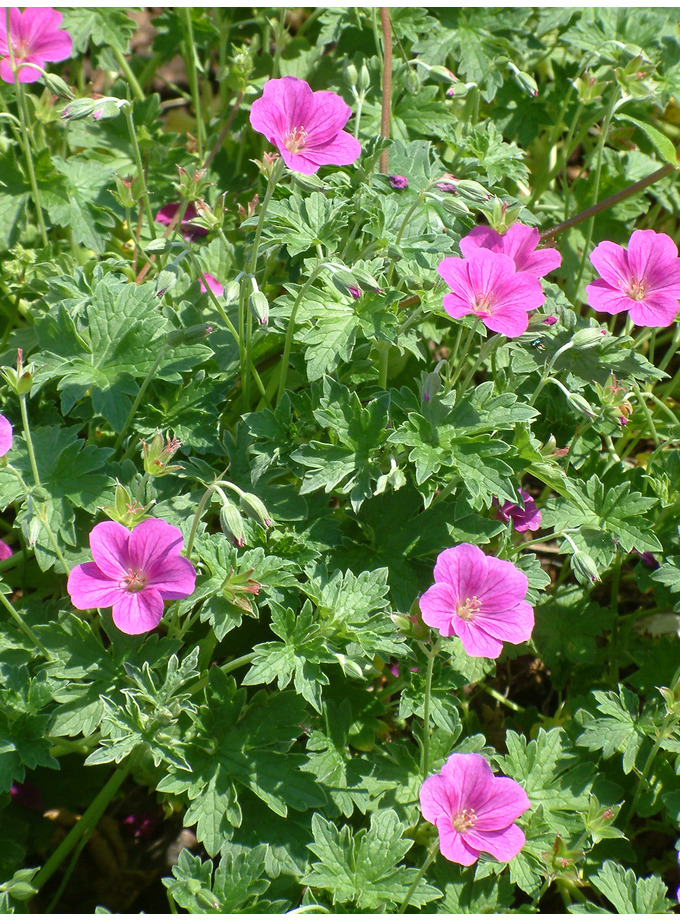 Geranium x riversleaianum 'Russell Prichard'